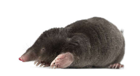 mole: European Mole, Talpa europaea, against white background Stock Photo