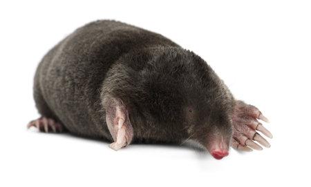 mole: European Mole, Talpa europaea, against white background Stock Photo