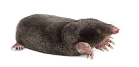 animal mole: European Mole, Talpa europaea, against white background Stock Photo