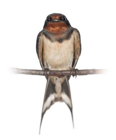 Barn Swallow, Hirundo rustica, perching against white background