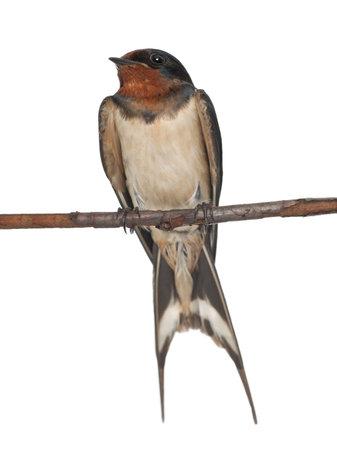 swallow: Boerenzwaluw, Hirundo rustica, perching tegen een witte achtergrond Stockfoto