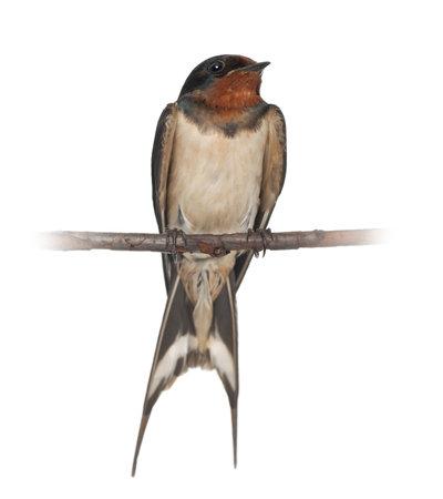 perching: Barn Swallow, Hirundo rustica, perching against white background