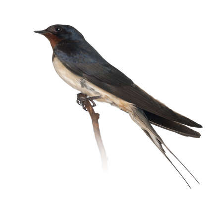 alone bird: Barn Swallow, Hirundo rustica, perching against white background