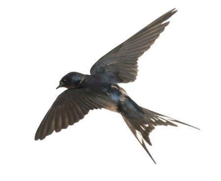 swallow: Boerenzwaluw, Hirundo rustica, liggend tegen een witte achtergrond