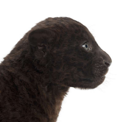 onca: Jaguar cub, 2 months old, Panthera onca, against white background Stock Photo