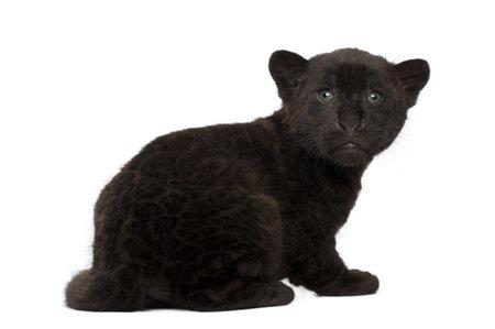 jaguar: Jaguar cub, 2 meses de edad, Panthera onca, sentada contra el fondo blanco