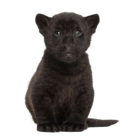 Jaguar cub, 2 months old, Panthera onca, sitting against white background photo