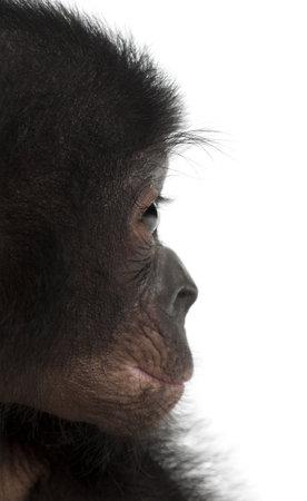 pan paniscus: Baby bonobo, Pan paniscus, 4 months old, against white background Stock Photo