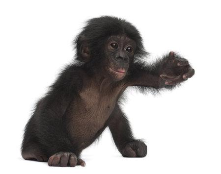 bonobo: Beb� bonobo, Pan paniscus, 4 meses de edad, sentado contra el fondo blanco Foto de archivo