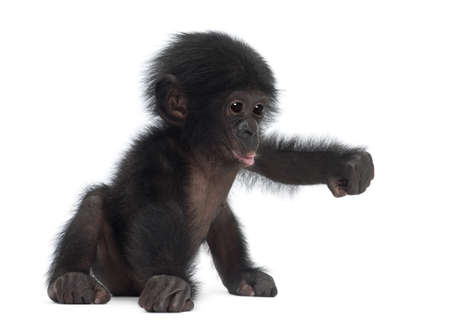 apes: Baby bonobo, Pan paniscus, 4 months old, sitting against white background Stock Photo