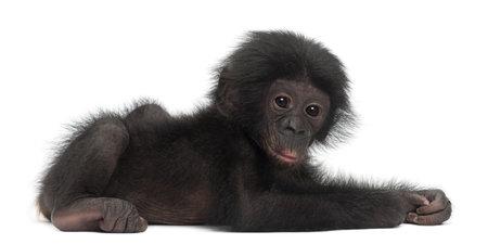 bonobo: Beb� bonobo, Pan paniscus, 4 meses, mintiendo contra el fondo blanco