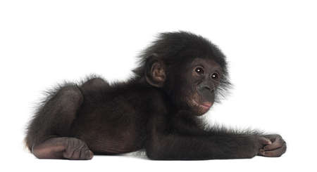 pan paniscus: Baby bonobo, Pan paniscus, 4 months old, lying against white background