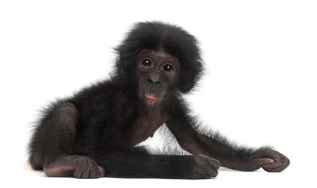 pan paniscus: Baby bonobo, Pan paniscus, 4 months old, sitting against white background Stock Photo