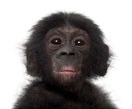 apes: Baby bonobo, Pan paniscus, 4 months old, against white background Stock Photo
