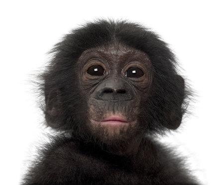 bonobo: Beb� bonobo, Pan paniscus, 4 meses de edad, contra el fondo blanco