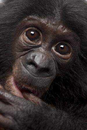 pan paniscus: Baby bonobo, Pan paniscus, 4 months old, close up portrait Stock Photo