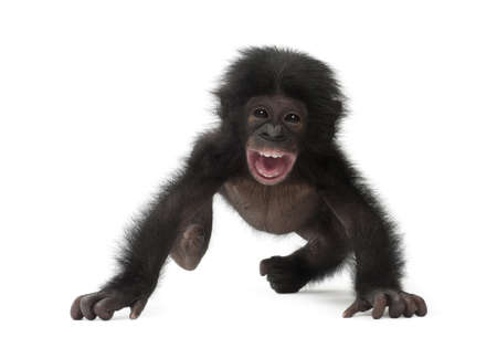 bonobo: Beb� bonobo, Pan paniscus, 4 meses de edad, caminando contra el fondo blanco