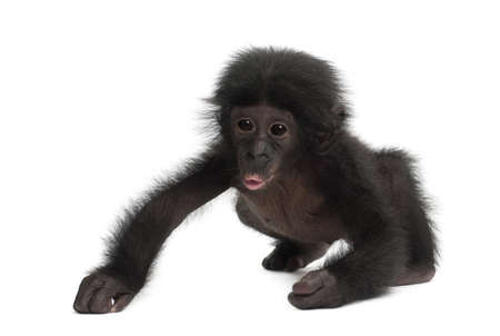 pan paniscus: Baby bonobo, Pan paniscus, 4 months old, walking against white background Stock Photo