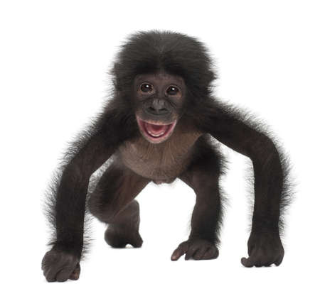 Baby bonobo, Pan paniscus, 4 months old, walking against white background Stock Photo