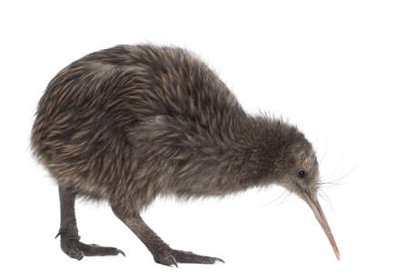 bird view: North Island Brown Kiwi, Apteryx mantelli, 5 months old, walking against white background Stock Photo