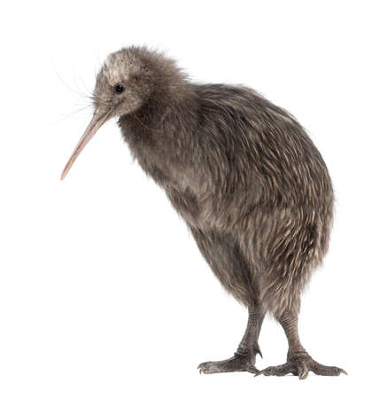 kiwi: North Island Brown Kiwi, Apteryx mantelli, 5 months old, standing against white background