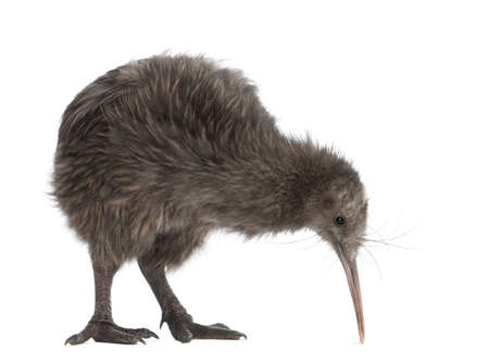 alone bird: North Island Brown Kiwi, Apteryx mantelli, 5 months old, standing against white background