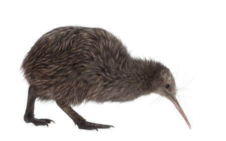 North Island Brown Kiwi, Apteryx mantelli, 5 months old, walking against white background photo