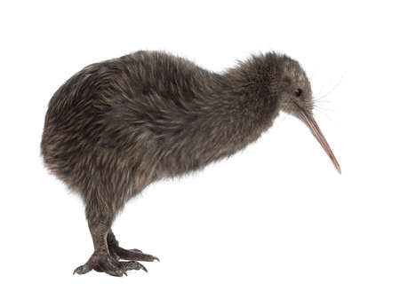 North Island Brown Kiwi, Apteryx mantelli, 5 months old, standing against white background photo