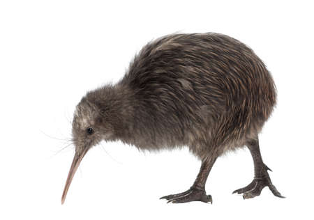 alone bird: North Island Brown Kiwi, Apteryx mantelli, 5 months old, walking against white background Stock Photo