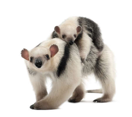 Tamandua, Tamandua tetradactyla mother, 3 years old, and child, 3 months old, walking against white background Stock Photo