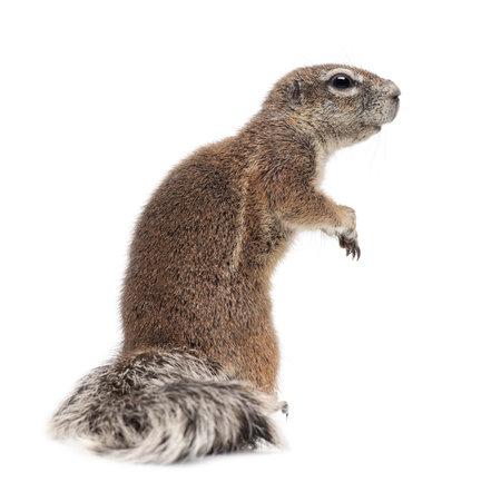 squirrel isolated: Ardilla de tierra del Cabo, Xerus inauris, de pie contra el fondo blanco
