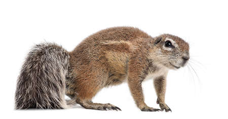 cape ground squirrel: Cape Ground Squirrel, Xerus inauris, standing against white background