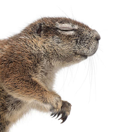 cape ground squirrel: Cape Ground Squirrel, Xerus inauris, against white background