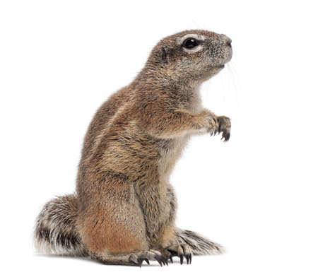 xerus inauris: Cape Ground Squirrel, Xerus inauris, standing against white background