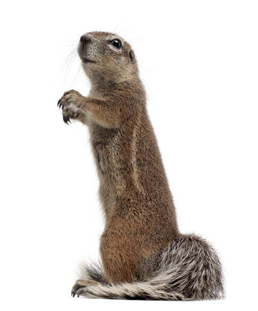 squirrel isolated: Cape Ground Squirrel, Xerus inauris, standing against white background