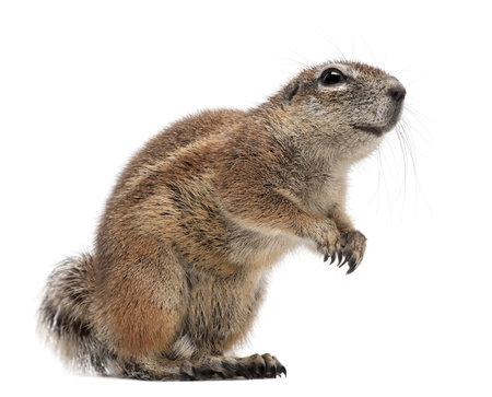 케이프 땅 다람쥐, Xerus의 inauris, 흰색 배경에 대해 서