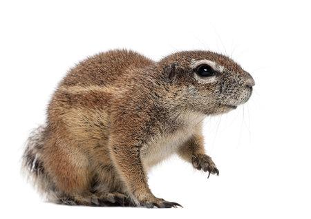 xerus inauris: Cape Ground Squirrel, Xerus inauris, sitting against white background Stock Photo