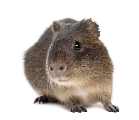 greater: Greater guinea pig, Cavia magna, against white background Stock Photo