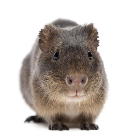 pig out: Greater guinea pig, Cavia magna, against white background Stock Photo