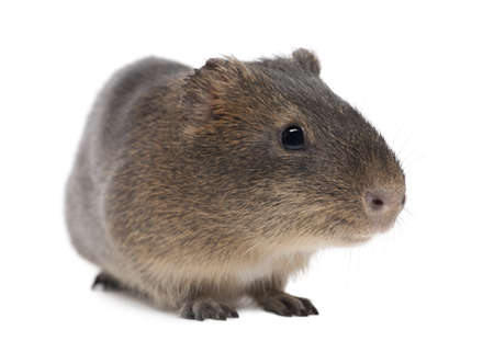 Greater guinea pig, Cavia magna, against white background photo