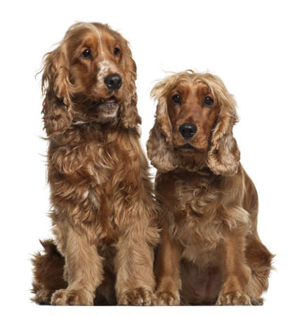 English Cocker Spaniels, 16 months old, sitting against white background photo