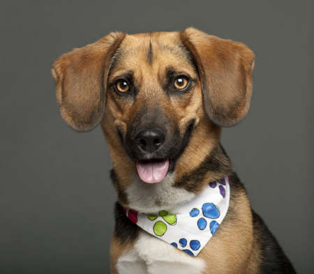 Dog, cross breed with a beagle, 2 years old, wearing neckerchief against white background photo