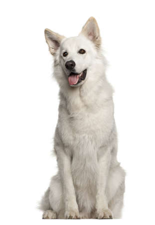 berger: Berger Blanc Suisse, 1 year old, sitting against white background Stock Photo