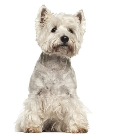 West Highland White Terrier, 5 years old, sitting against white background photo
