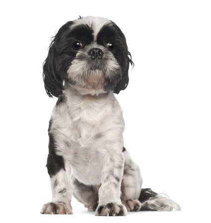 Shih Tzu, 5 years old, sitting against white background photo