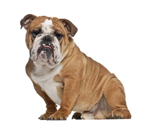 English Bulldog, 10 months old, sitting against white background