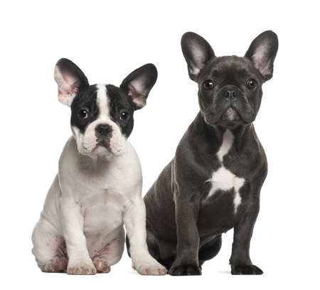 French bulldog puppies, 4 months old, sitting against white background photo