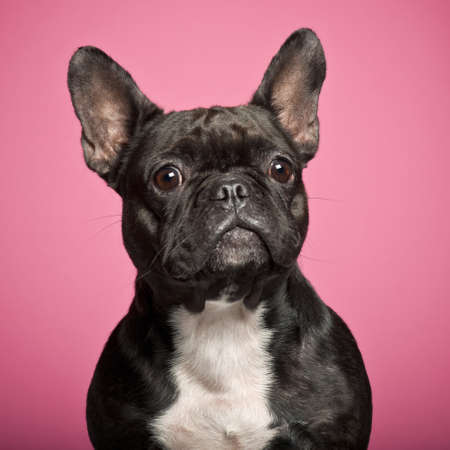 French Bulldog, 3 years old, against pink background photo