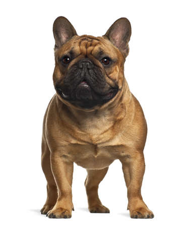 french bulldog: French Bulldog puppy, 4 months old, standing against white background