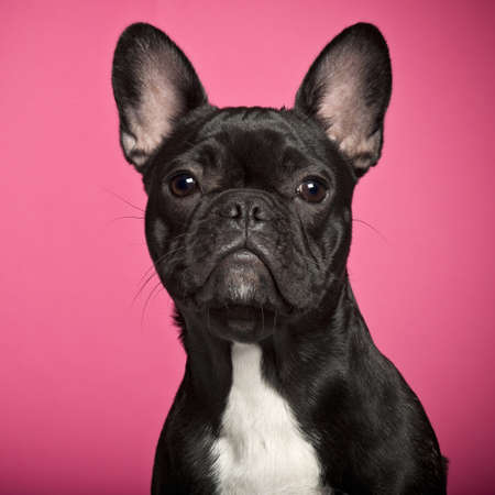 French Bulldog puppy, 6 months old, against pink background